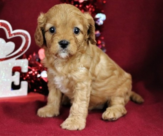 6-sweet-beautiful-male-and-cavapoo-ready-now-big-0