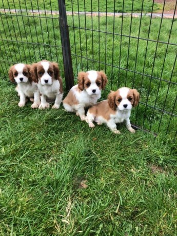 cavalier-king-charles-puppies-in-stoke-on-trent-for-sale-big-0