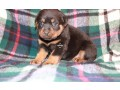 rottweiler-puppies-in-edinburgh-for-sale-small-0