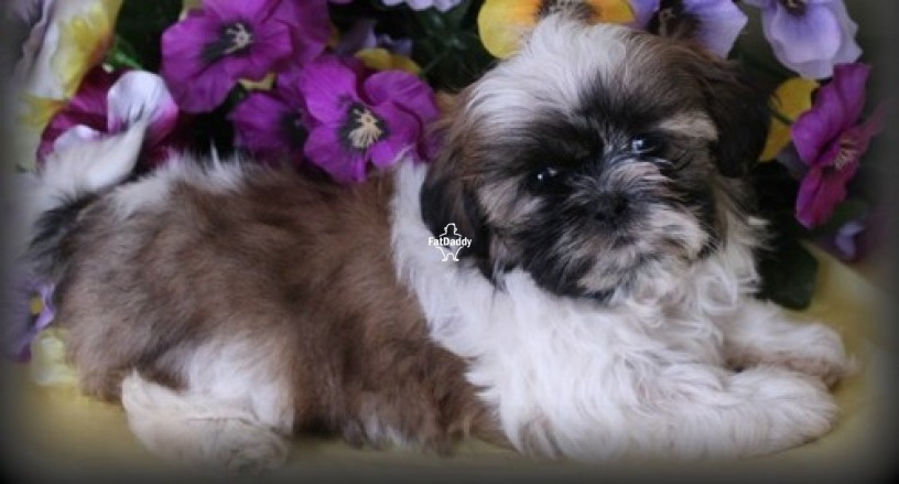 shih-tzu-puppies-in-dundee-for-sale-big-0